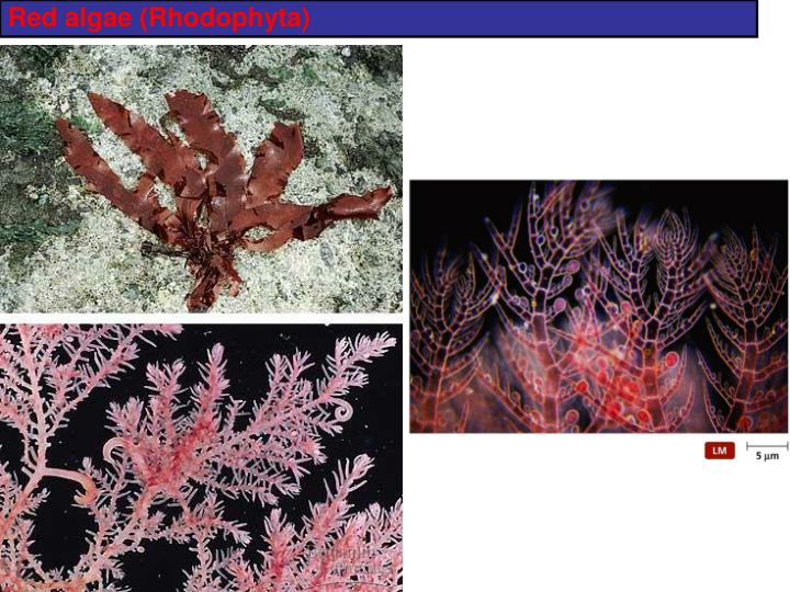 Red algae (Rhodophyta)