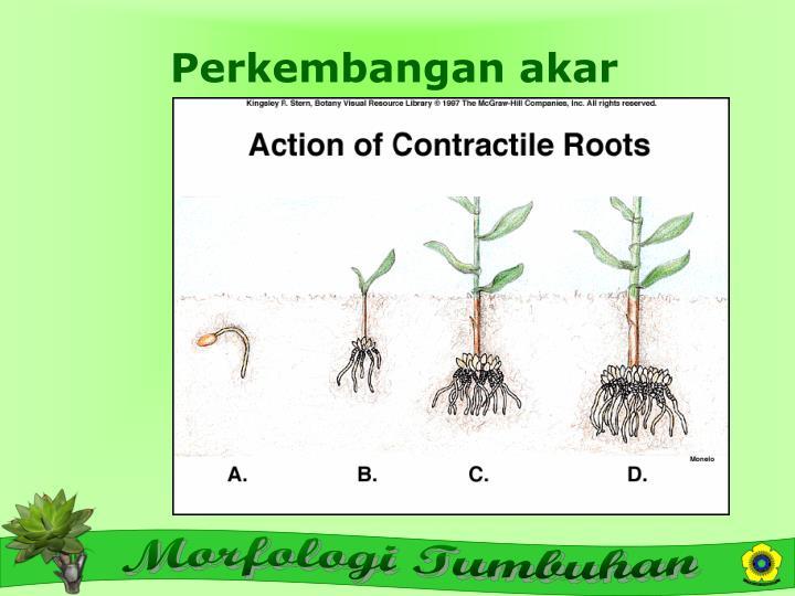 Perkembangan akar
