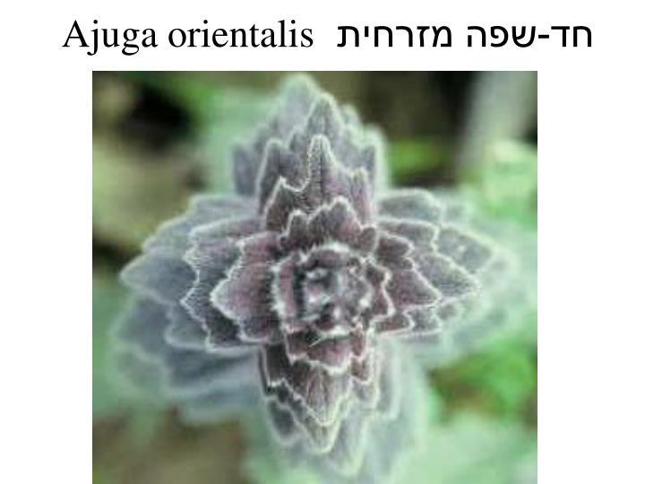 Ajuga orientalis