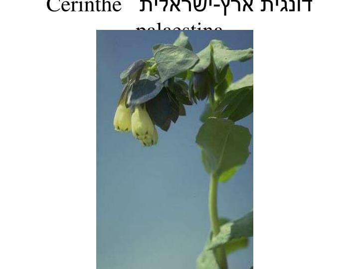 דונגית ארץ-ישראלית