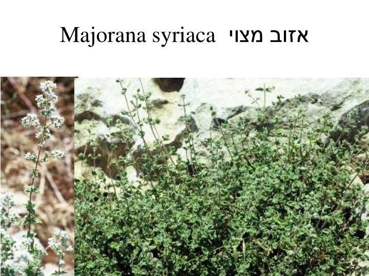 Majorana syriaca