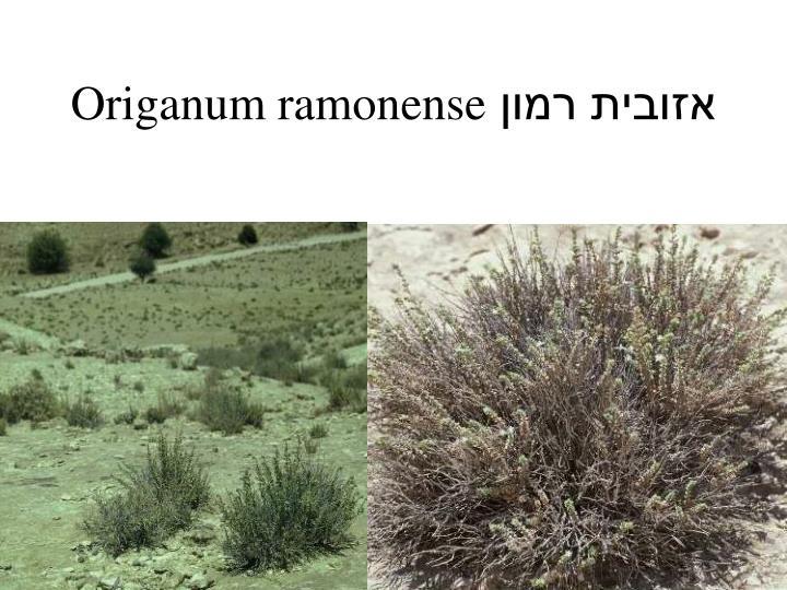 Origanum ramonense