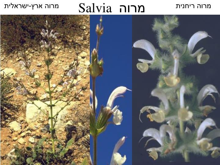 מרוה ארץ-ישראלית