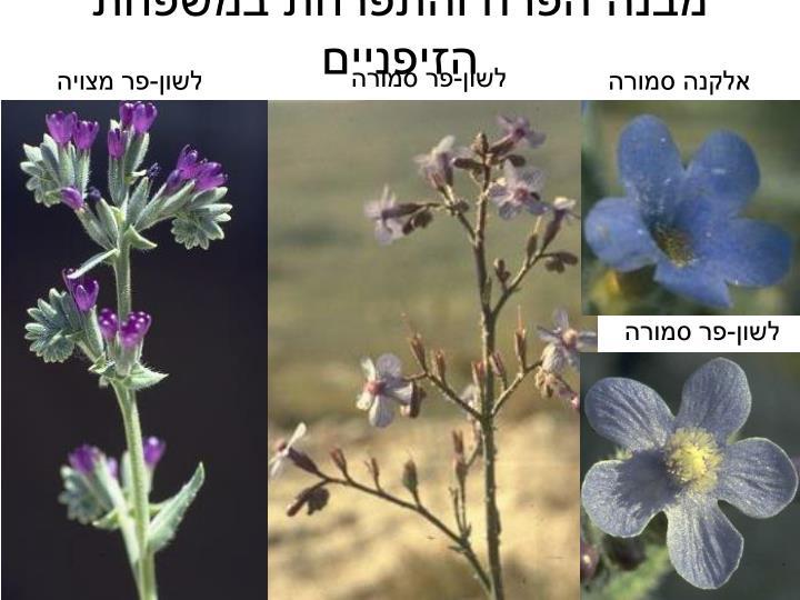 מבנה הפרח והתפרחת במשפחת הזיפניים