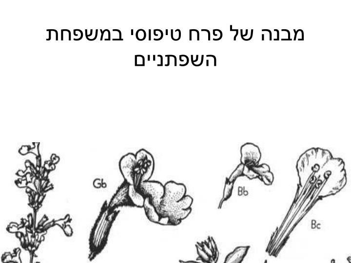 מבנה של פרח טיפוסי במשפחת השפתניים