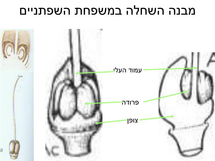 מבנה השחלה במשפחת השפתניים