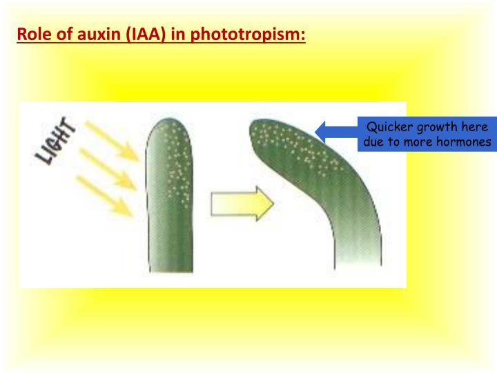 Role of auxin (IAA) in phototropism: