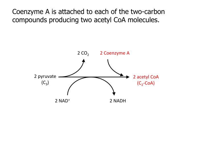 Coenzyme A is attached to each of the two-carbon compounds producing two acetyl CoA molecules.