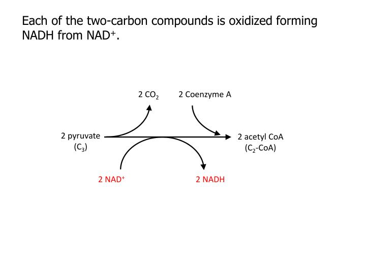 Each of the two-carbon compounds is oxidized forming NADH from NAD