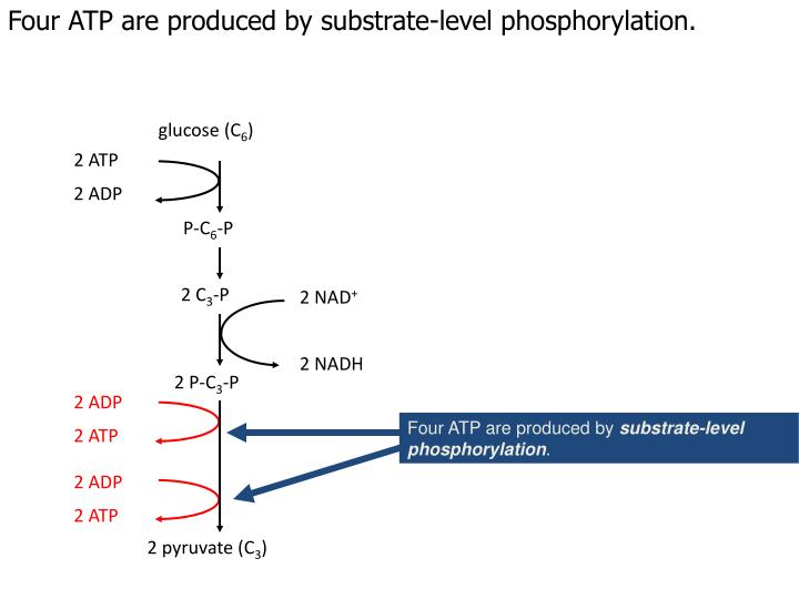 Four ATP are produced by substrate-level phosphorylation.