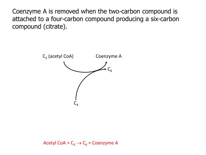 Coenzyme A is removed when the two-carbon compound is attached to a four-carbon compound producing a six-carbon compound (citrate).