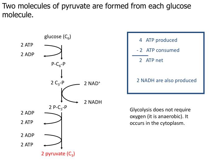 Two molecules of pyruvate are formed from each glucose molecule.