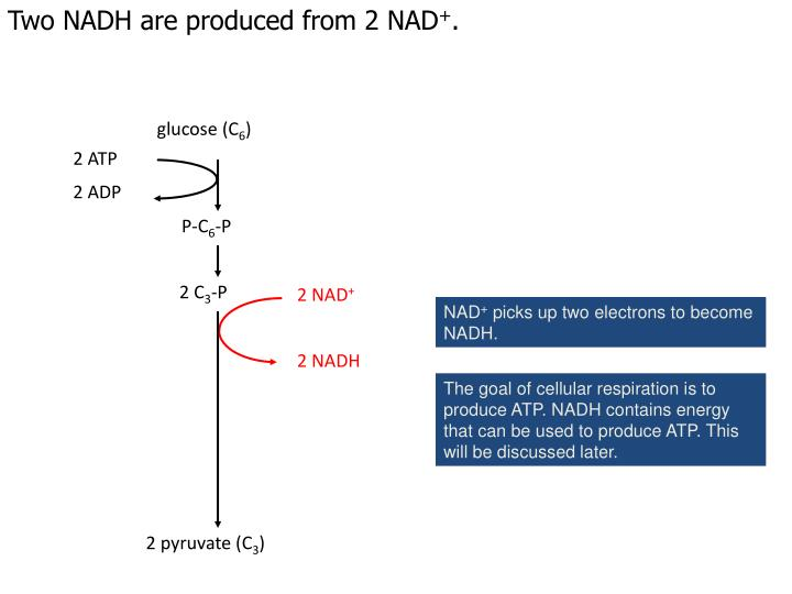 Two NADH are produced from 2 NAD