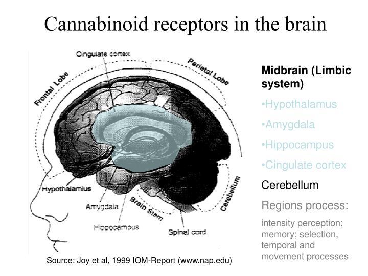 Cannabinoid receptors in the brain