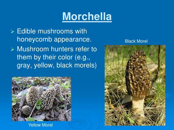 Morchella