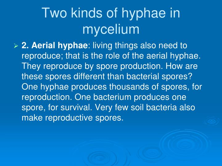 Two kinds of hyphae in mycelium