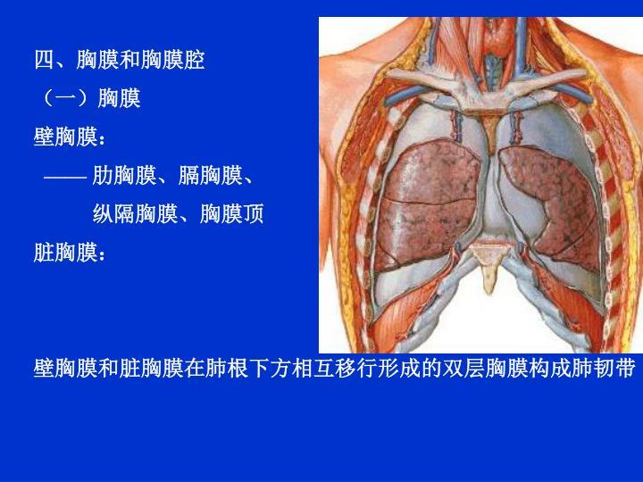 四、胸膜和胸膜腔