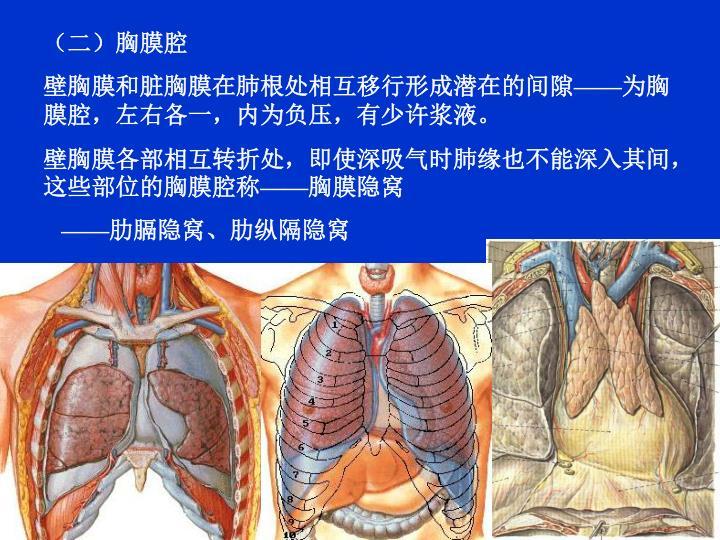 (二)胸膜腔