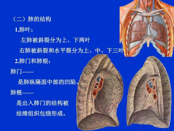 (二)肺的结构