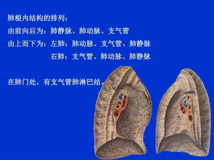 肺根内结构的排列: