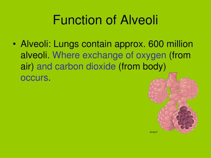 Function of Alveoli