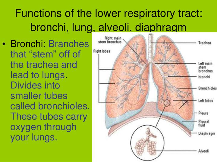 Functions of the lower respiratory tract: bronchi, lung, alveoli, diaphragm