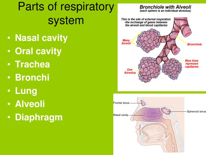 Parts of respiratory system