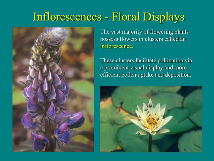 These clusters facilitate pollination via a prominent visual display and more efficient pollen uptake and deposition.