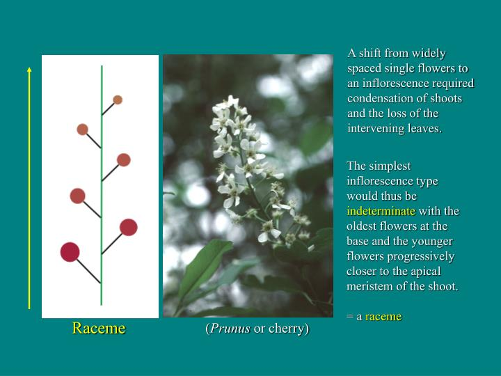 The simplest inflorescence type would thus be