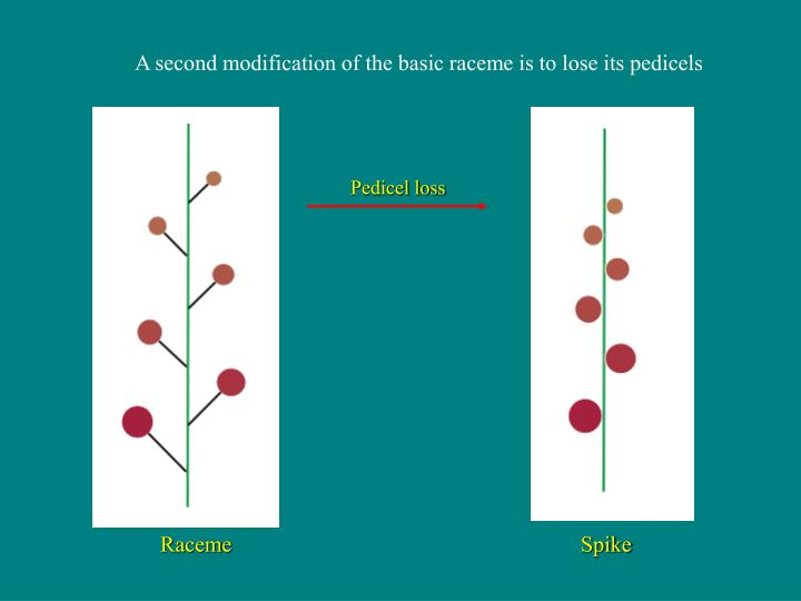 A second modification of the basic raceme is to lose its pedicels