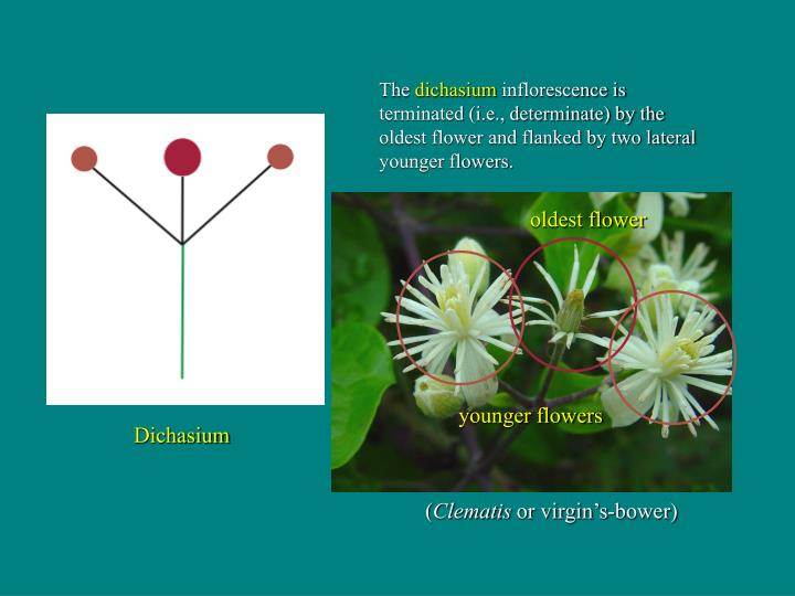 oldest flower