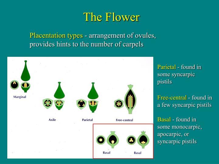 Placentation types