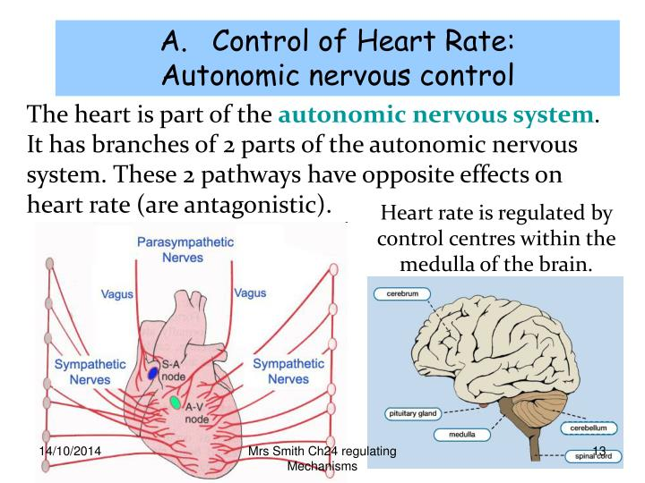Control of Heart Rate: