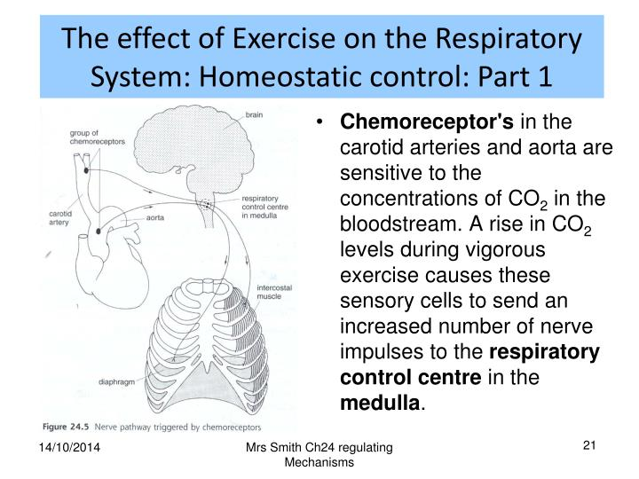 The effect of Exercise on the Respiratory System: Homeostatic control: Part 1