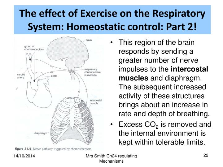 The effect of Exercise on the Respiratory System: Homeostatic control: Part 2!