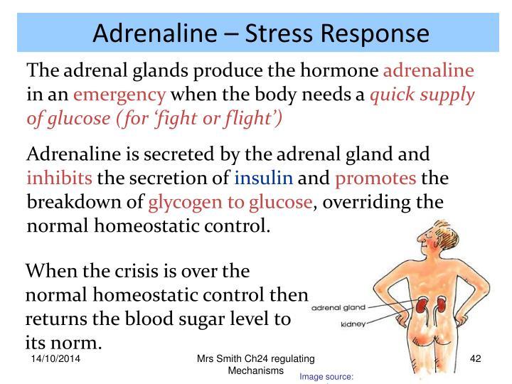 Adrenaline – Stress Response