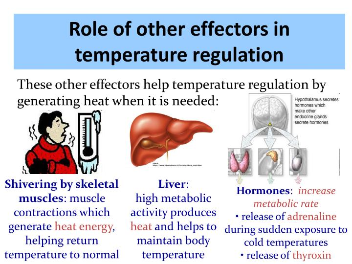 Role of other effectors in temperature regulation