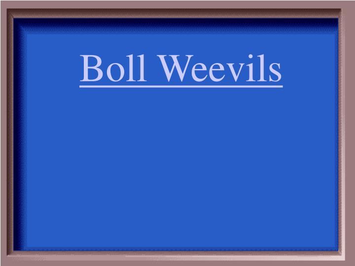 Boll Weevils