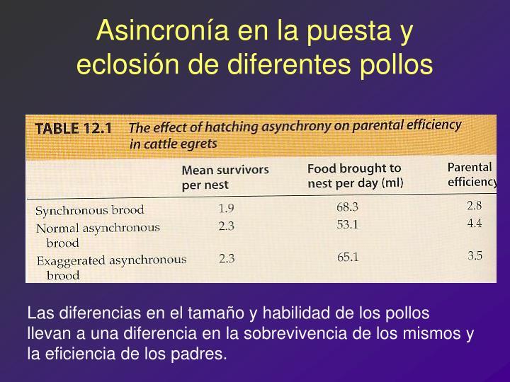 Asincronía en la puesta y eclosión de diferentes pollos