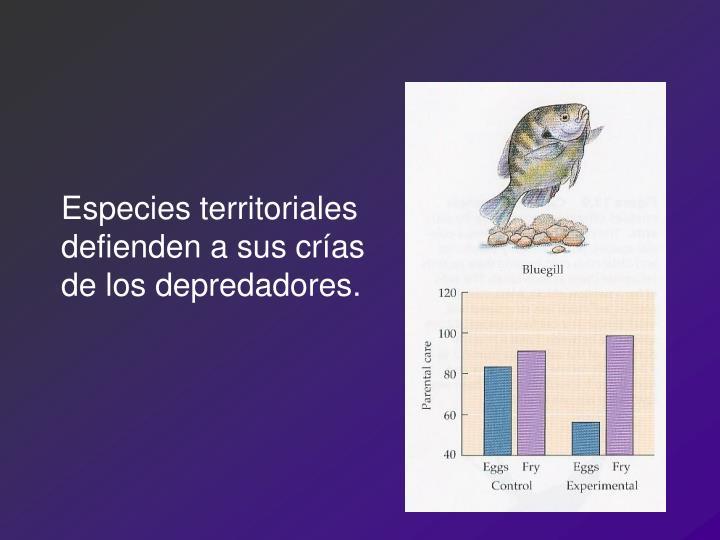 Especies territoriales defienden a sus crías de los depredadores.