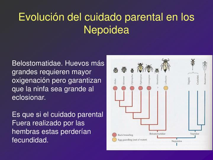 Evolución del cuidado parental en los Nepoidea