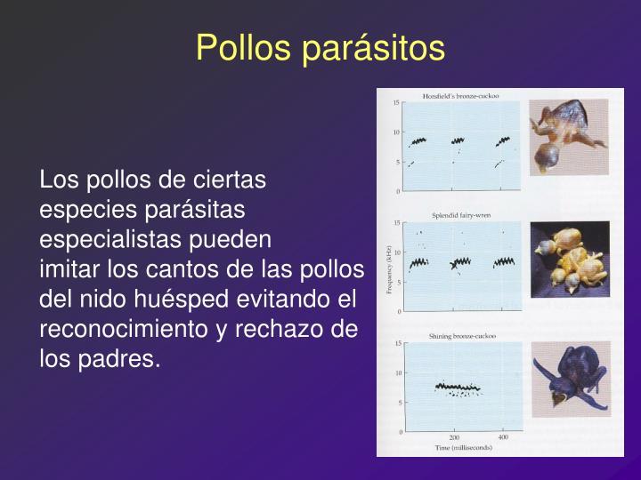 Pollos parásitos