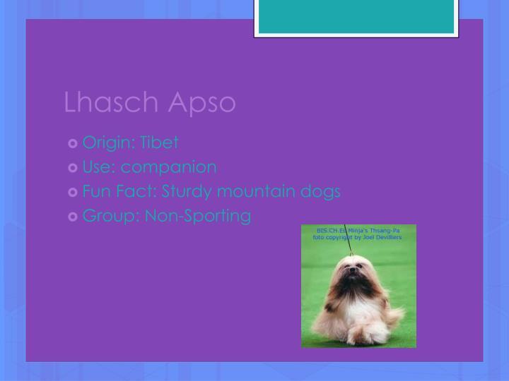 Lhasch Apso