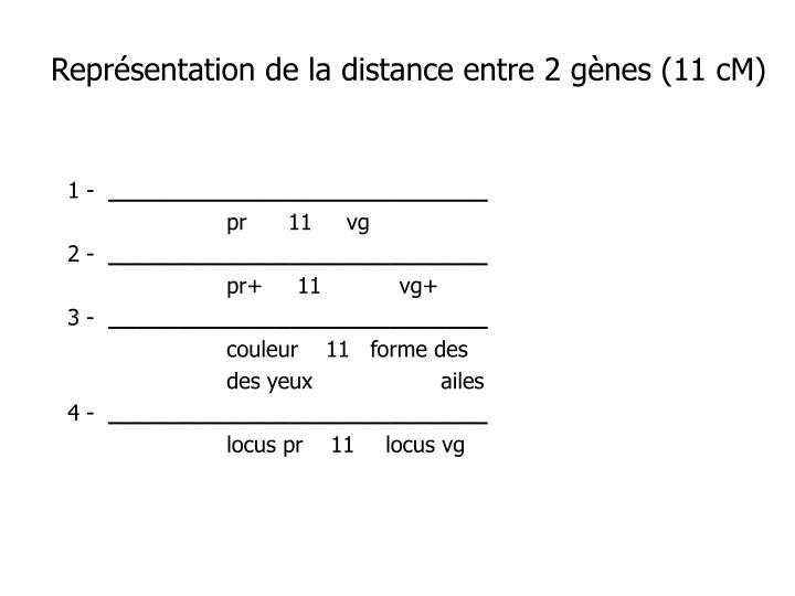 Représentation de la distance entre 2 gènes (11 cM)