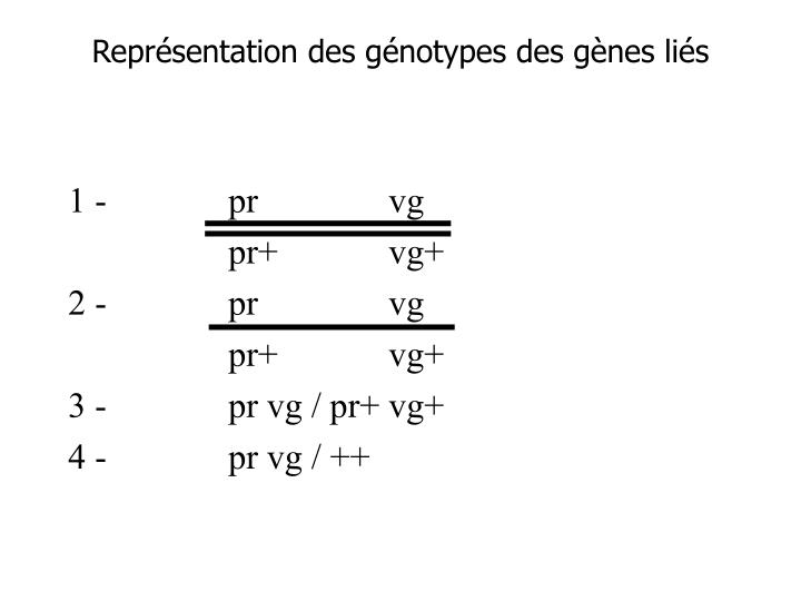 Représentation des génotypes des gènes liés