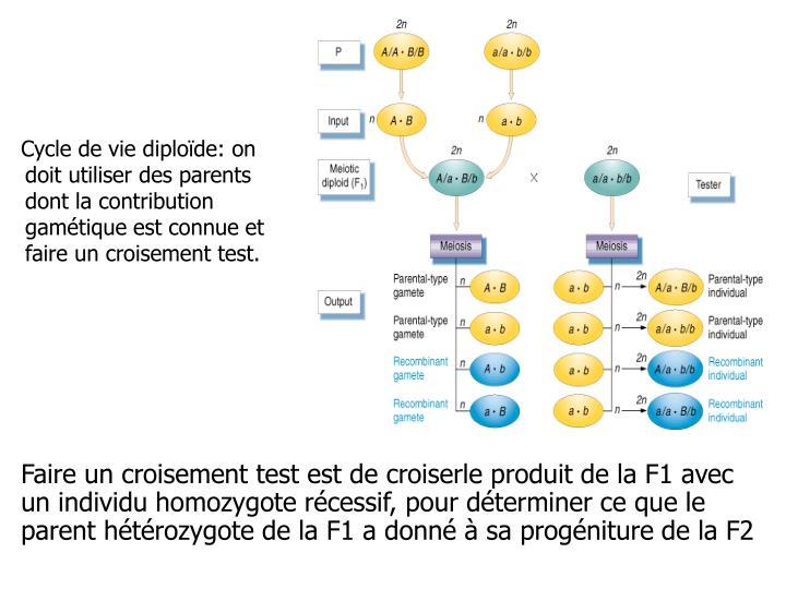 Cycle de vie diploïde: on doit utiliser des parents dont la contribution gamétique est connue et faire un croisement test.
