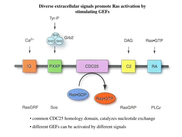 Diverse extracellular signals promote Ras activation by stimulating GEFs