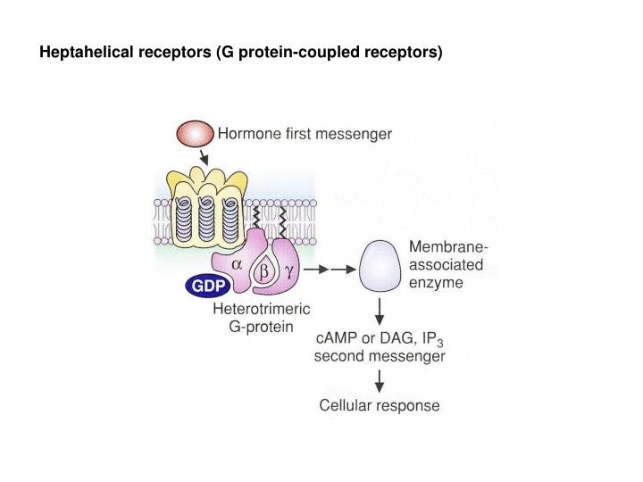 Heptahelical receptors (G protein-coupled receptors)