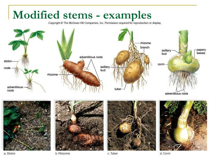 Modified stems - examples