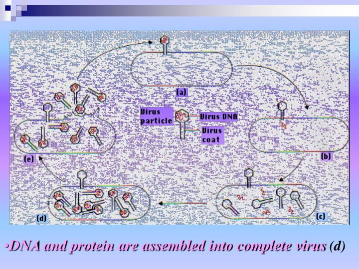 DNA and protein are assembled into complete virus